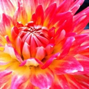 cropped-X-Dahlie-pink.jpg